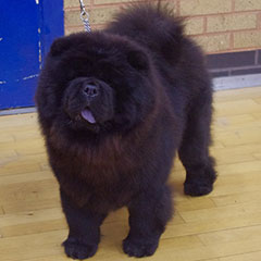 The Chow Chow Club of Wales